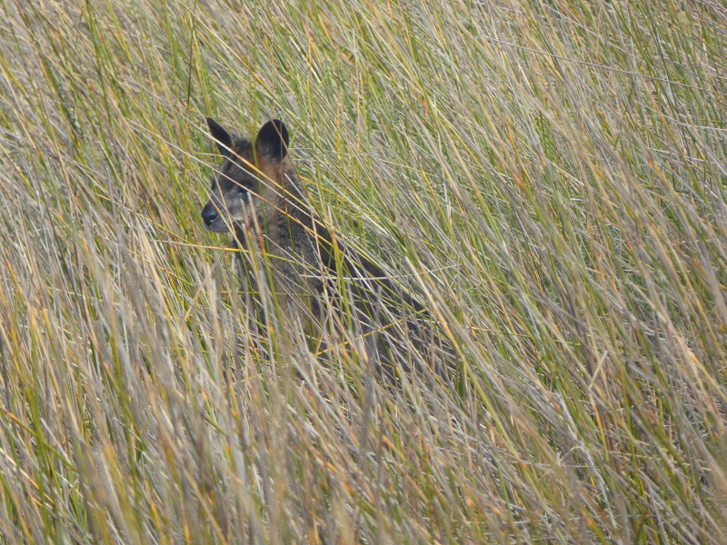 Wallaby on Griffiths Island