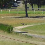 Roo on the racetrack at Hanging Rock